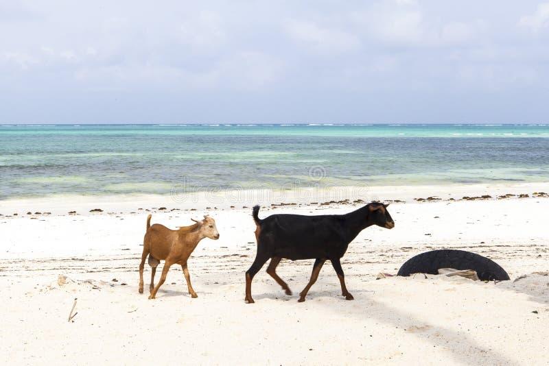 De geit op het Eiland van Zanzibar royalty-vrije stock foto's