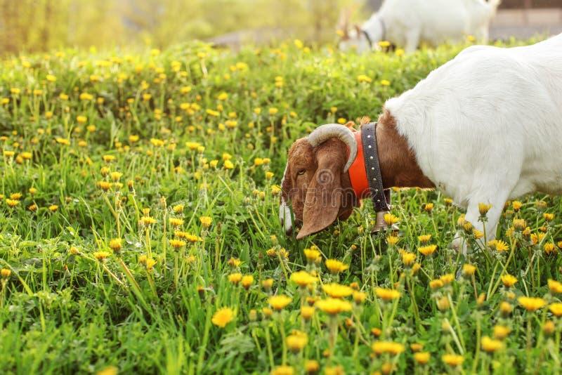 De geit van Anglonubian weiden, die gras op weidehoogtepunt eten van dandel royalty-vrije stock afbeelding