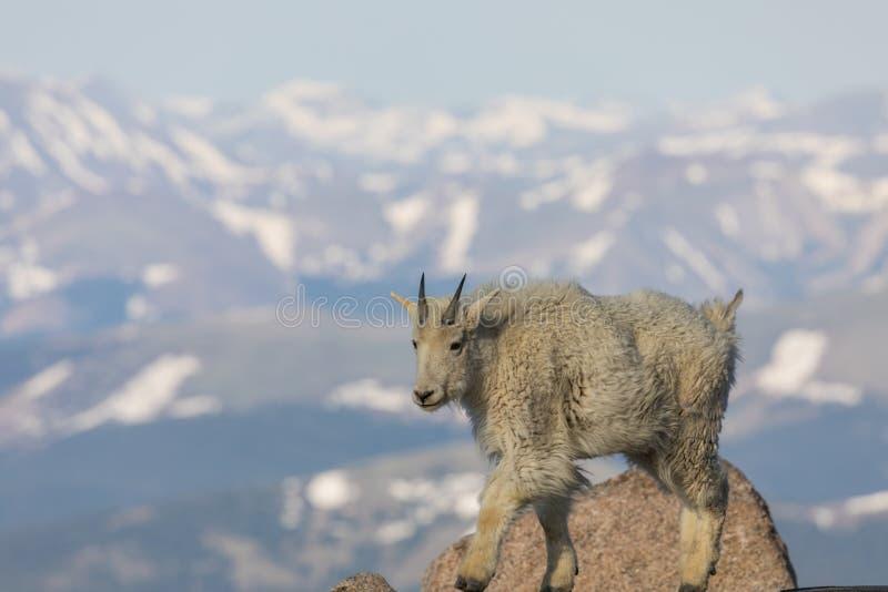De geit van de berg stock fotografie