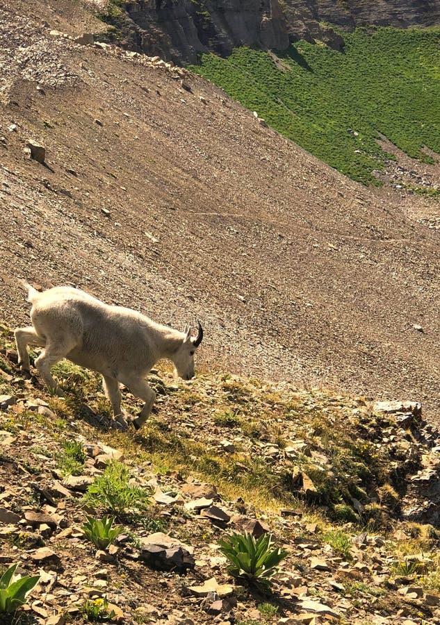 De geit van de berg stock afbeeldingen
