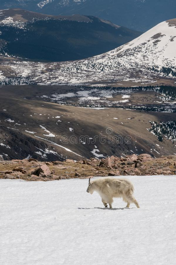 De geit van de berg in Colorado royalty-vrije stock fotografie