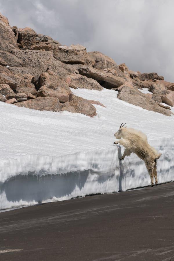De geit van de berg in Colorado stock fotografie