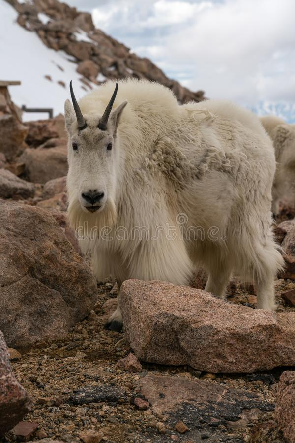 De geit van de berg in Colorado stock foto