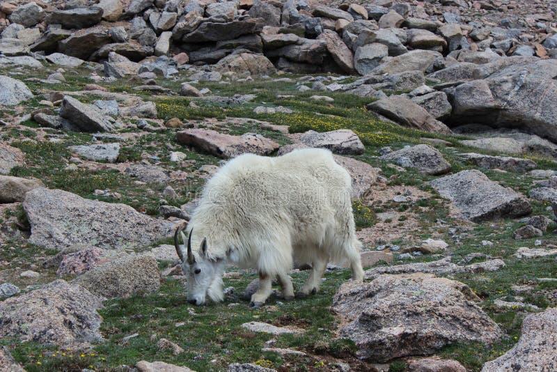 De geit van de berg op Mt Evans, Colorado Rocky Mountains stock afbeelding