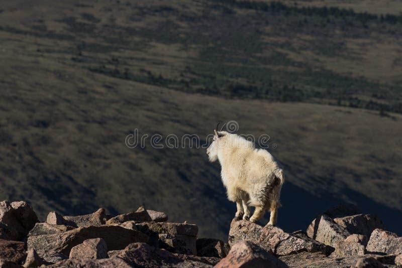 De Geit van de berg op Rots royalty-vrije stock afbeelding