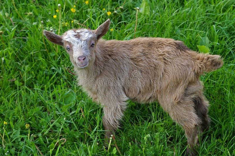 De geit van de baby stock afbeeldingen