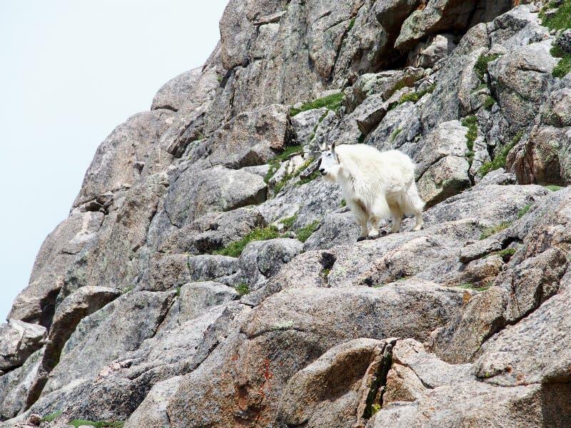 De geit van de berg stock afbeelding