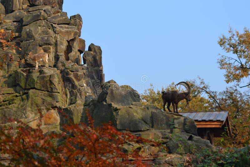 De geit van de berg royalty-vrije stock afbeelding