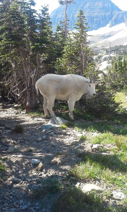 De geit van de berg stock foto