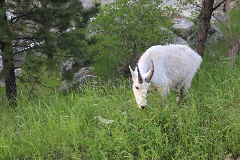De geit van de berg royalty-vrije stock foto's