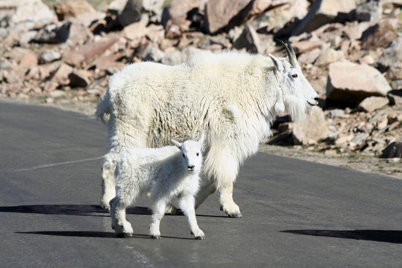De Geit van de Berg van de moeder en van de Baby royalty-vrije stock fotografie