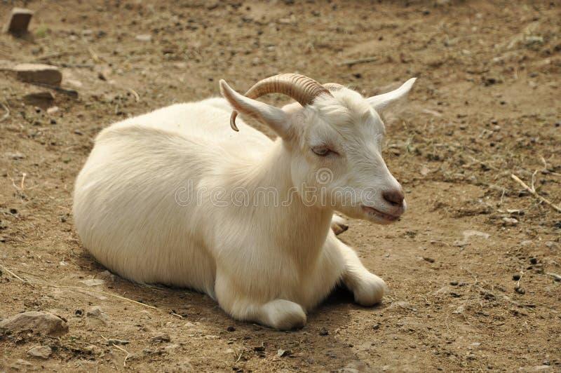 De geit van het kasjmier stock afbeeldingen