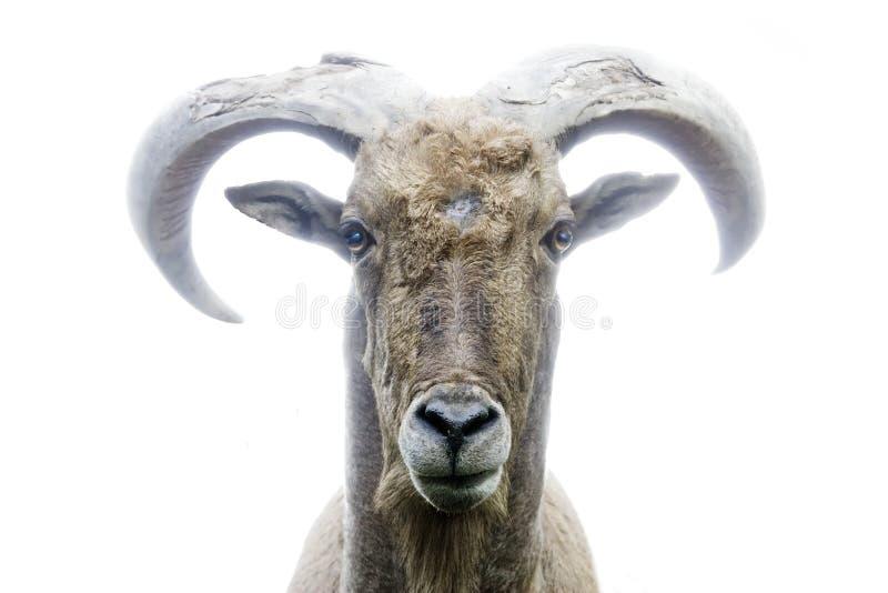 De geit vooraanzicht van de berg stock foto
