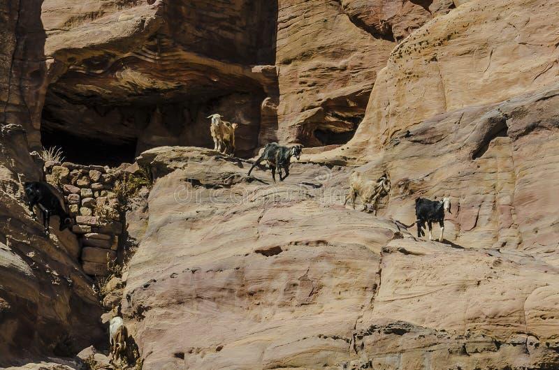 De geiten dalen onderaan de rotsen van Petra stock foto's