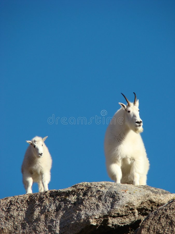 De Geiten van de berg op Onderstel Evans stock foto