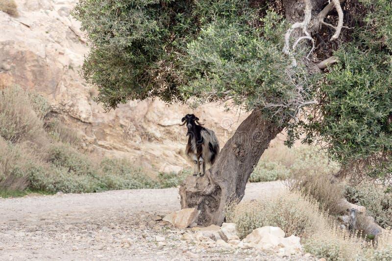 De geiten weiden in de bergen stock afbeelding