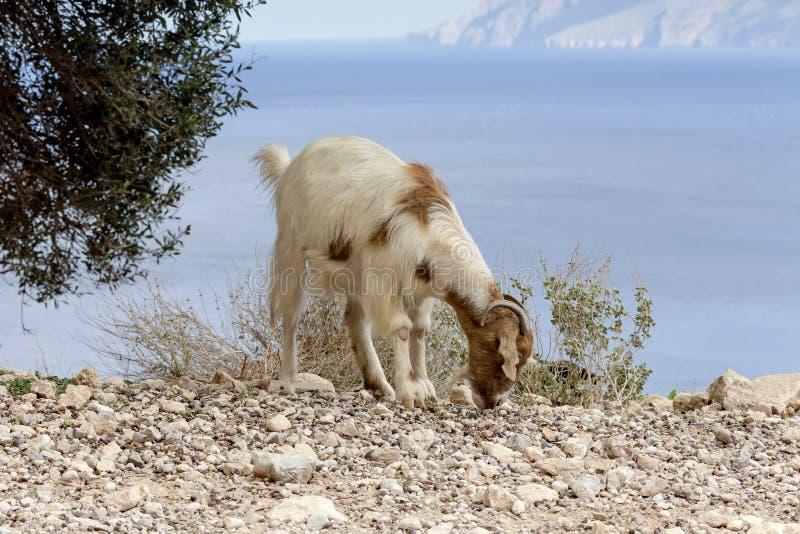 De geiten weiden in de bergen stock afbeeldingen
