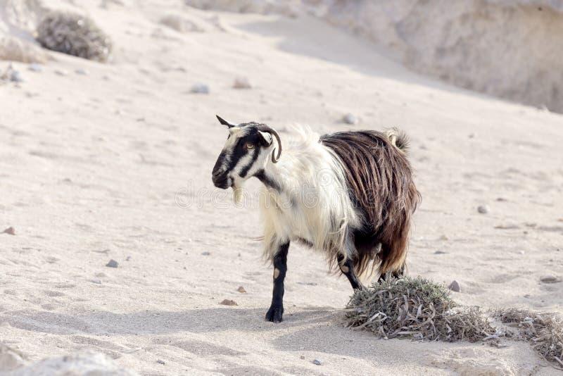 De geiten weiden in de bergen stock foto's
