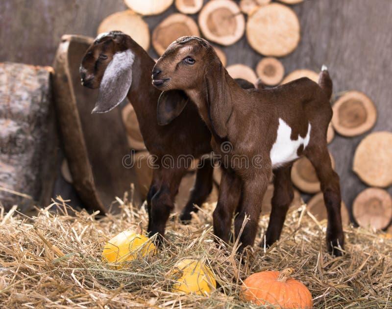 De geitkind van het Nubianras stock afbeelding