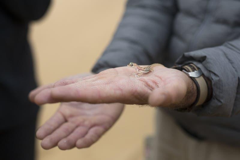 De gekko in a bemant hand royalty-vrije stock afbeeldingen