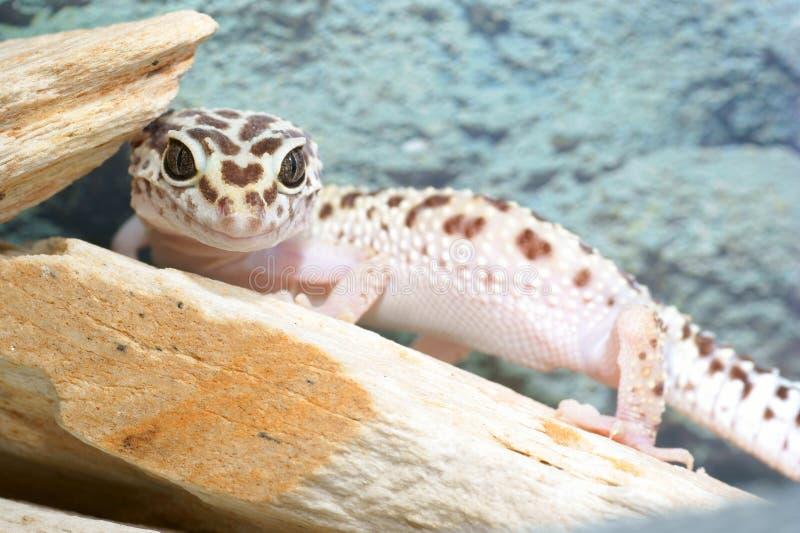 De gekko van de luipaard stock afbeelding