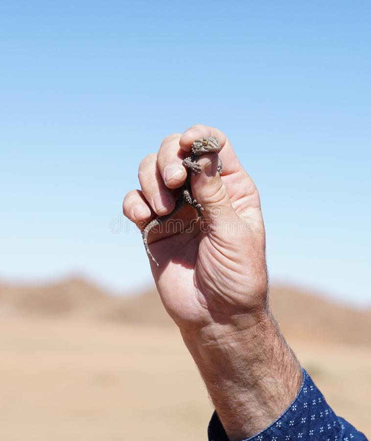 De gekko van de wigvoet stock afbeeldingen