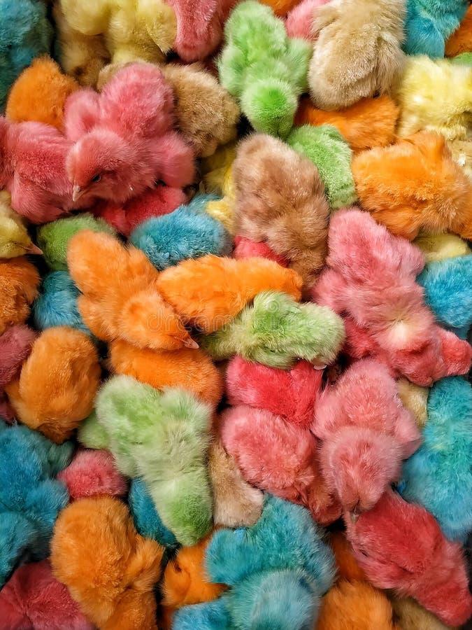 De gekleurde kippen van de Kuikensbaby kleurrijk in Egypte royalty-vrije stock afbeelding