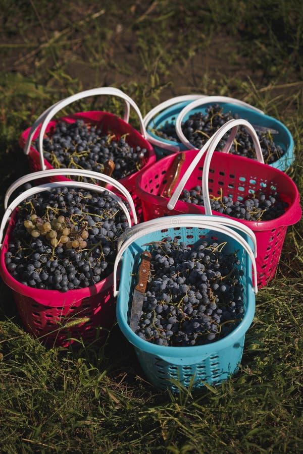 De gekleurde manden van vers geplukte druiven zijn in het gras stock afbeeldingen