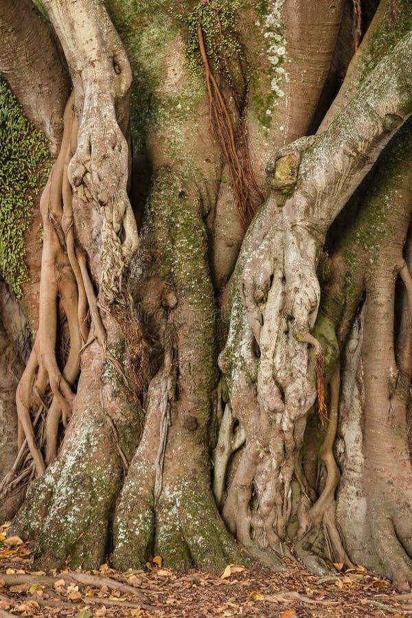 De geknoopte boomstam van de ficusboom en luchtwortels stock fotografie