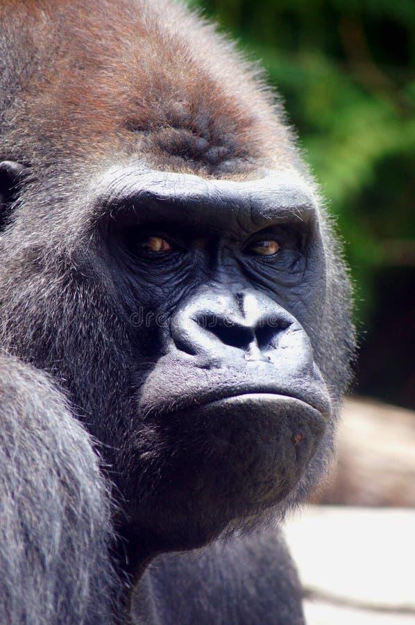 De Gelaatsuitdrukking van de gorilla stock fotografie