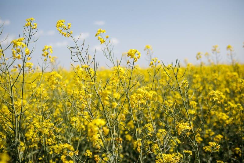 De gele achtergrond van het Raapzaadgebied Gebied van heldere gele rapesee royalty-vrije stock foto's