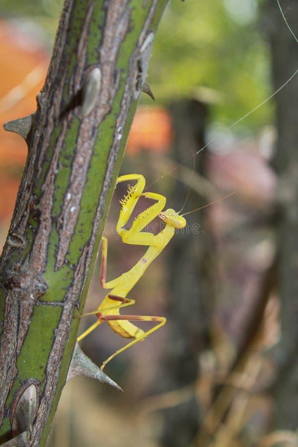 De gele bidsprinkhanen klauteren omhoog de tak stock foto's