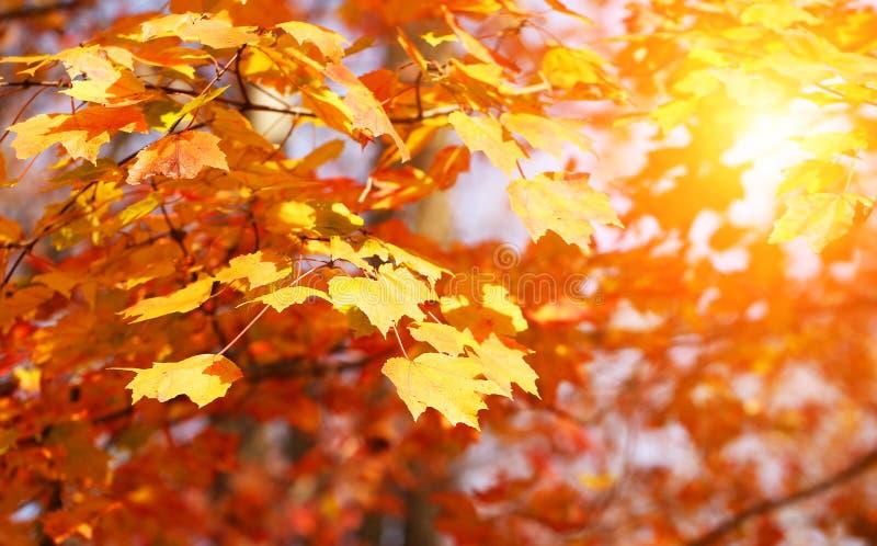 De gele bladeren van de de herfstesdoorn openlucht Daling stock foto's