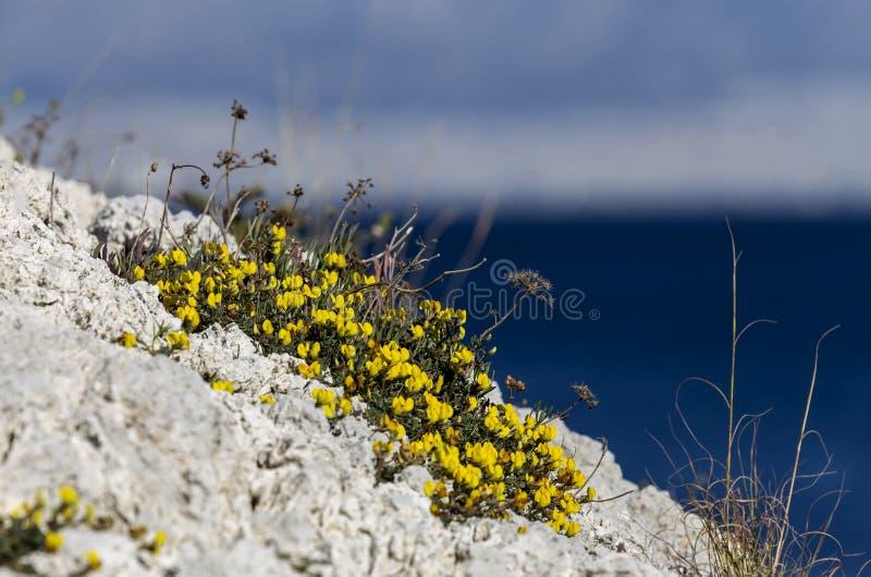 De gele bloeiende struik groeit op de achtergrond van het overzees stock foto's