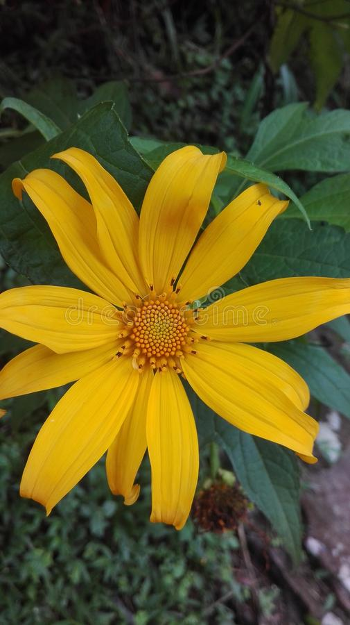 De gele bloem bij bos in bandung stock foto's