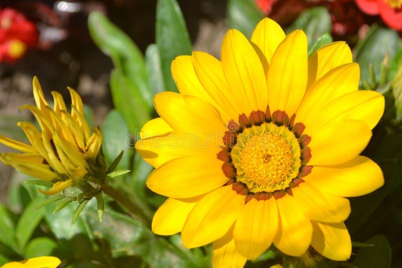 de gele bloem, bloeit knop, knop, groene zonnebloem, de zomer, bloemen, bloemblaadje, flora, landbouw, macro, madeliefje, geweven royalty-vrije stock fotografie