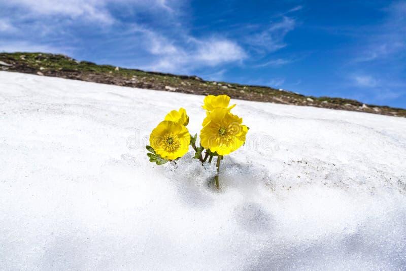 De gele bloem in de sneeuw stock foto