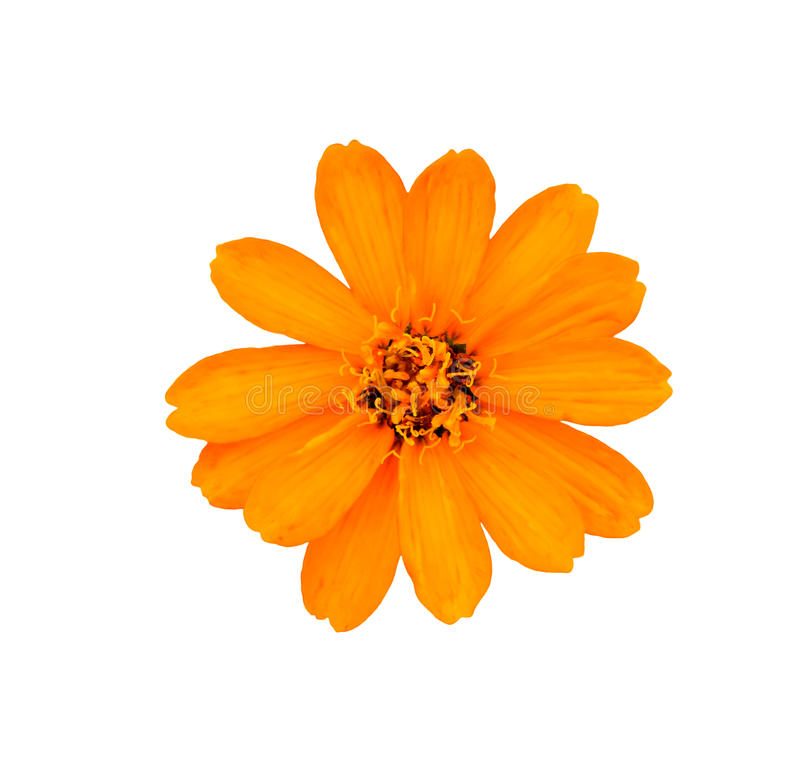 De gele bloem isoleert op witte achtergrond royalty-vrije stock afbeelding