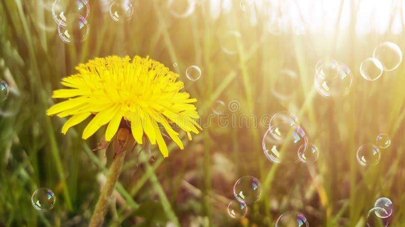 De gele bloem, paardebloem, en dreen gras in zonlicht Zeepbels die in de lucht drijven Vage natuurlijke abstracte achtergrond royalty-vrije stock foto's