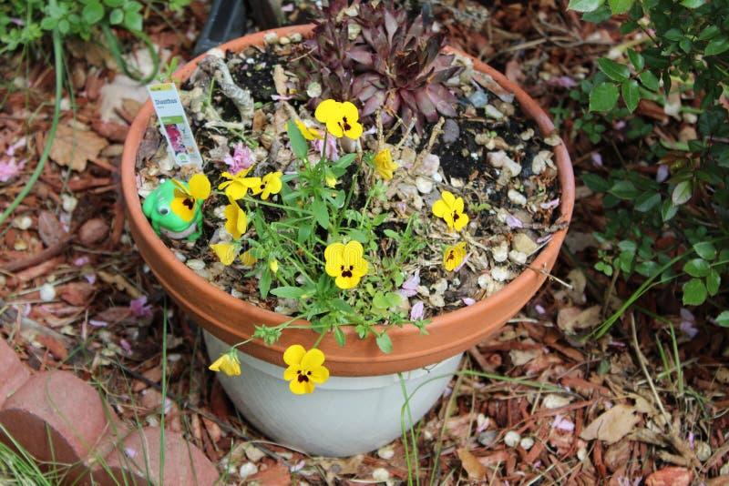 De gele bloem van de bloempot stock foto's