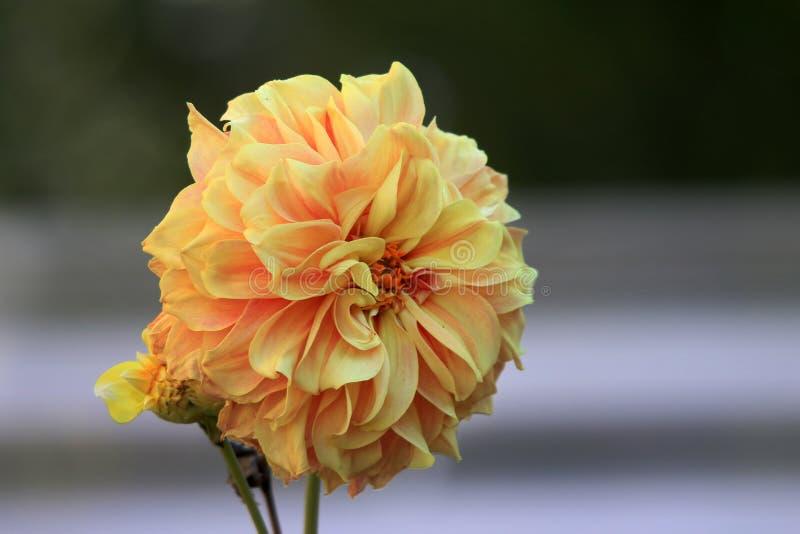 De gele bloem van Dalia royalty-vrije stock afbeeldingen