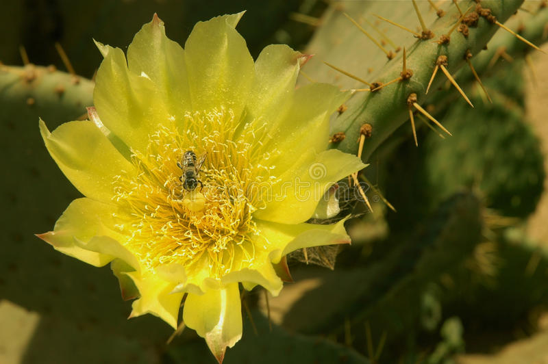 De gele bloem van de Cactus royalty-vrije stock foto's