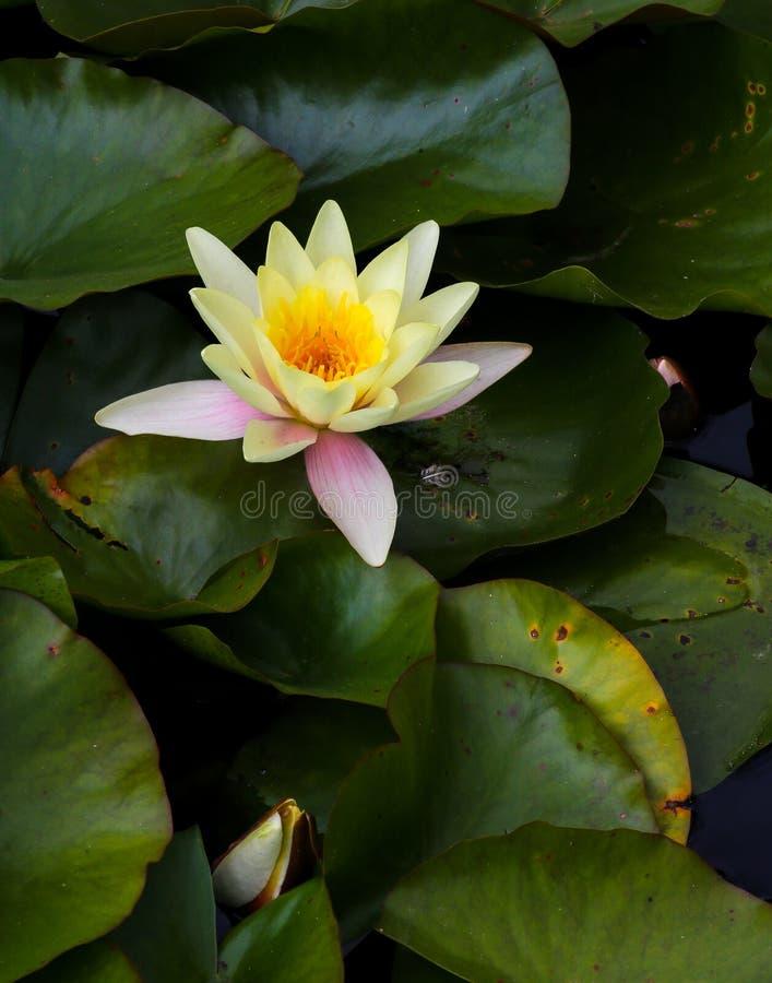 De gele bloem van de waterlelielotusbloem in de vijver royalty-vrije stock foto
