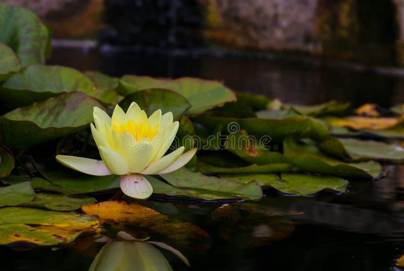 De gele bloem van de waterlelielotusbloem in de vijver stock afbeeldingen