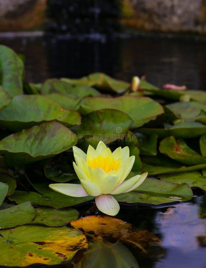 De gele bloem van de waterlelielotusbloem in de vijver stock foto