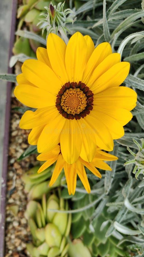 De gele bloem van het gerberamadeliefje met groene achtergrond stock foto's