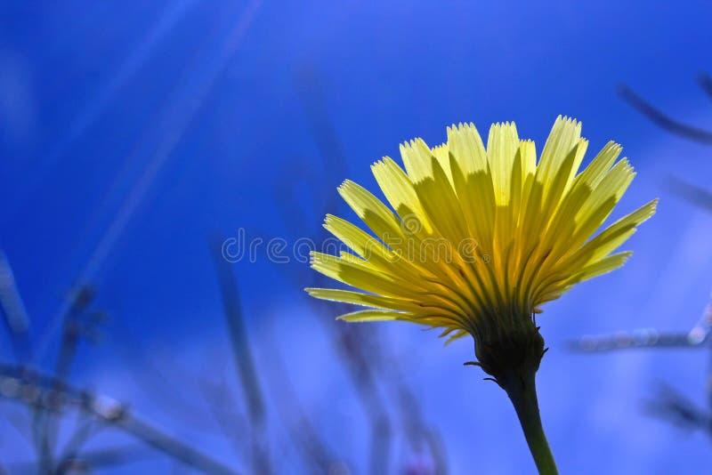 De gele bloem van de woestijnpaardebloem, het park van de de woestijnstaat van Anza Borrego, royalty-vrije stock foto