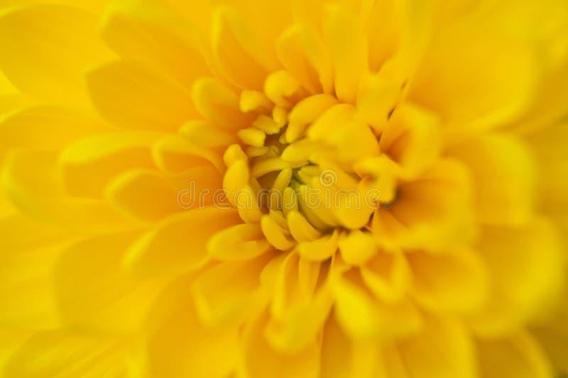 De gele bloem verzadigde vers kleur die het gehele kader helder vullen royalty-vrije stock foto
