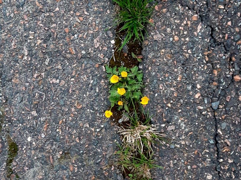 De gele bloemen breken waar oud asfalt stock foto