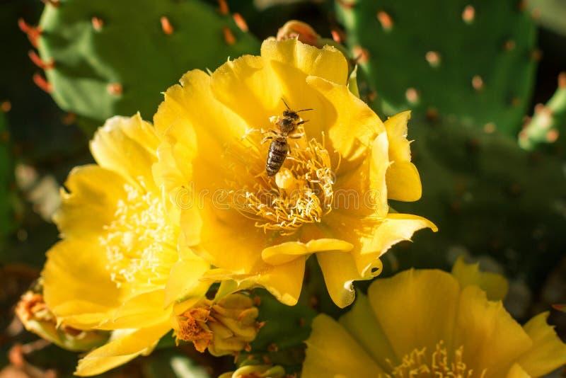 De gele bloemen op een cactus zijn het bloeien heldere kleur stock foto's